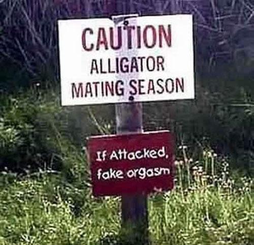 Advarsel: Alligatorene har parringstid